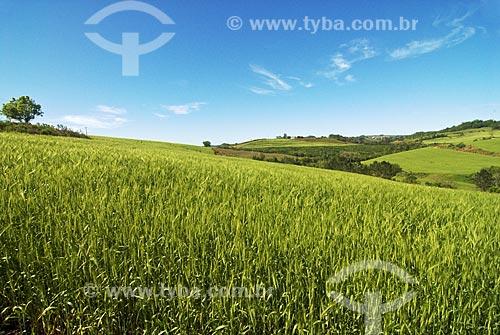 Assunto: Campos de trigo  / Local:  Rodeio Bonito - RS - Brasil  / Data: Setembro de 2009