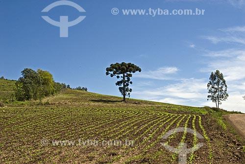 Assunto: Pinheiro (Araucária) em campo de milho recém-plantado  / Local:  Rodeio Bonito - RS - Brasil  / Data: Setembro de 2009