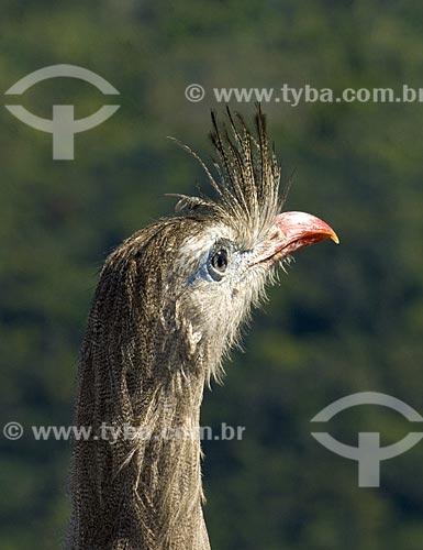 Assunto: Seriema (Cariama cristata). Ave domesticável  que atinge 80 cm de altura  / Local:  Niterói - RJ - Brasil  / Data: Setembro de 2009