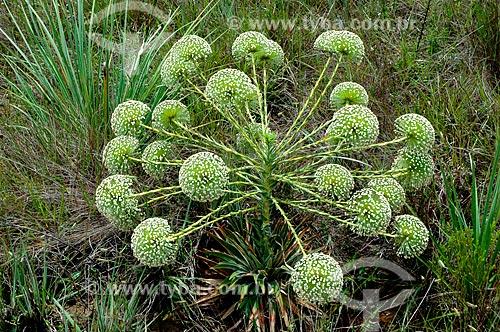 Assunto: Sempre-viva (Paepalanthus sp.), planta típica do Cerrado  / Local:  Capivari - Minas Gerais - MG - Brasil  / Data: 01/2009