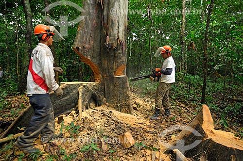 Trabalhadores cortando árvore de forma sustentável e evitando maiores danos para a floresta  - Tefé - Amazonas - Brasil