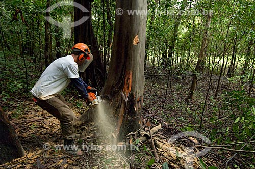 Trabalhadores cortando árvore de forma sustentável e evitando maiores danos para a floresta com o uso de uma serraria portátil que evita a entrada de tratores na mata, o manejo florestal é parte do projeto de proteção ambiental de Mamirauá   - Tefé - Amazonas - Brasil