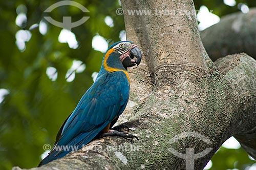 Assunto: Arara-barba-azul (Ara glaucogularis) em galho de embaúba - Espécie ameaçada de extinção, com cerca de 100 aves apenas na natureza  / Local:  Palma Sola - Departamento de Beni - Bolívia  / Data: 11/2005