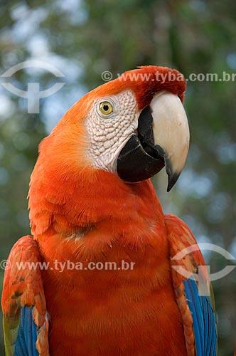 Assunto: Close-up de araracanga (Ara macao) no complexo turístico Amazon Ecopark Jungle Lodge  / Local:  Manaus - Amazonas (AM) - Brasil  / Data: 01/2006