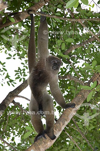 Assunto: Macaco-barrigudo (Lagothrix lagotricha cana) macho, no complexo turístico Amazon Ecopark Jungle Lodge  / Local:  Manaus - Amazonas (AM) - Brasil  / Data: 01/2006