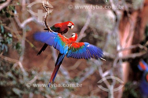 Assunto: Casal de araras-vermelhas (Ara chloroptera) brincando, no Buraco das Araras, perto da cidade de Jardim  / Local:  Mato Grosso do Sul (MS) - Brasil  / Data: 03/2006