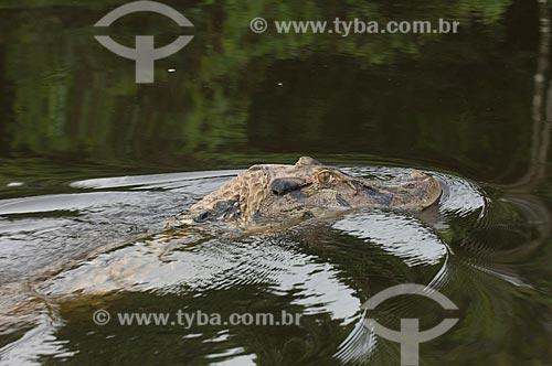 Assunto: Jacaré-açu (melanosuchus niger) no lago Mamirauá, junto da Pousada Uacari na Reserva de Desenvolvimento Sustentável (RDS) Mamirauá  / Local:  Amazonas (AM) - Brasil  / Data: 03/2007