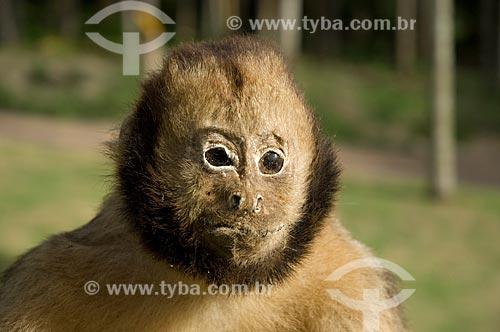 Assunto: Macaco-prego-de-peito-amarelo empalhado (Cebus xanthosternos)  / Local:  Costa do Sauípe - Bahia (BA) - Brasil  / Data: 05/2007