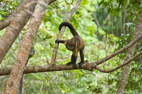 Assunto: Macaco-prego-de peito-amarelo (Cebus xanthosternos), raro e ameaçado de extinção, na mata atlântica da Costa do Sauípe  / Local:  Bahia (BA) - Brasil  / Data: 05/2007