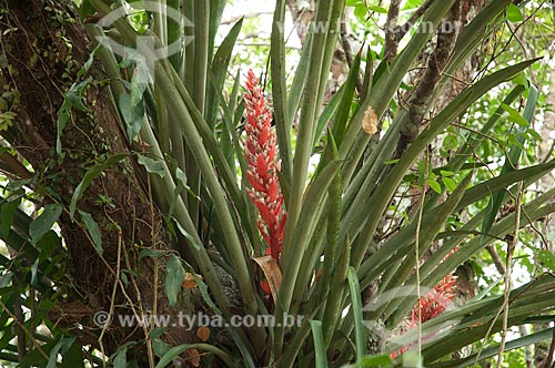 Assunto: Bromélia Streptocalyx poepigii em Freguesia do Andirá / Local: Barreirinha -  Amazonas (AM) - Brasil  / Data: 13/01/2006