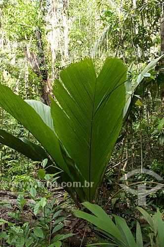 Assunto: Buçu (Manicaria saccifera) da Reserva Biológica do Cuieiras na BR-174  / Local: perto de Manaus - Amazonas (AM) - Brasil  / Data: 08/01/2006