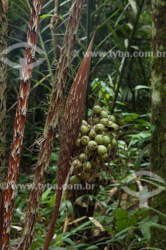 Assunto: Detalhe do estipe da palmeira Astrocaryum acaule, na Reserva Biológica do Cuieiras  / Local: perto de Manaus - Amazonas (AM) - Brasil  / Data: 09/01/2006