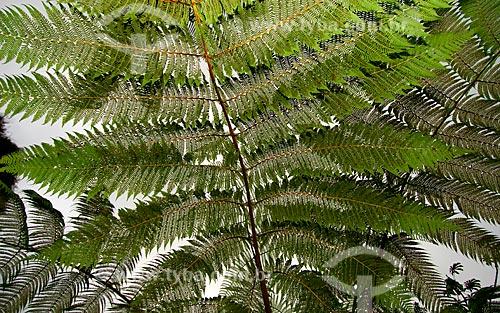 Assunto: Detalhe do samambaiaçu (Alsophila armata)  / Local: Mata Atlântica - Brasil  / Data: 07/09/2006