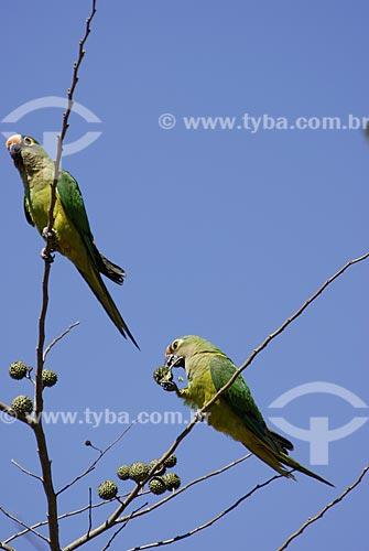 Assunto: Periquito-rei (Aratinga aurea) - também conhecido como Jandaia Rei, Jandaia Estrela, Mocinha ou Jandaia áurea no Parque Nacional das Emas  / Local: Goiás (GO) - Brasil  / Data: 13/09/2006