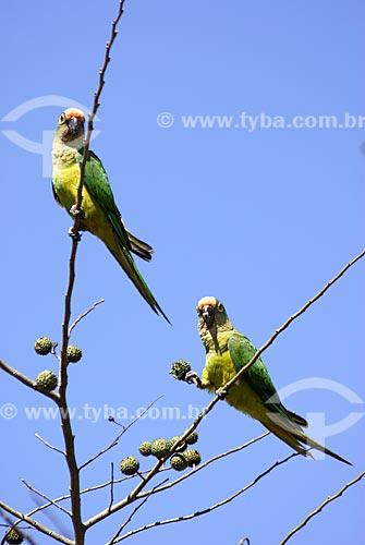 Assunto: Periquito-rei (Aratinga aurea) - também conhecido como Jandaia Rei, Jandaia Estrela, Mocinha ou Jandaia áurea no Parque Nacional das Emas  / Local: Goiás (GO) - Brasil  / Data: 14/09/2006