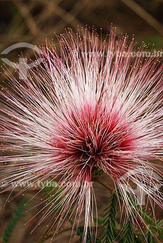 Assunto: Caliandra (Calliandra gardneri) também conhecida como flor-do-cerrado no Parque Nacional das Emas  / Local:  Goiás (GO) - Brasil  / Data: 07/09/2007