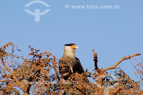 Assunto: Carcará também conhecido como Caracará (Polyborus plancus)  / Local:  Mato Grosso do Sul (MS) - Brasil  / Data: 14/06/2006