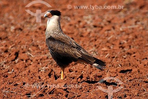 Assunto: Carcará também conhecido como Caracará (Polyborus plancus)  / Local: Mato Grosso do Sul (MS) - Brasil  / Data: 15/06/2006