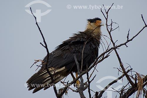Assunto: Carcará também conhecido como Caracará (Polyborus plancus) no Parque Nacional das Emas  / Local: Goiás (GO) Brasil  / Data: 15/09/2007