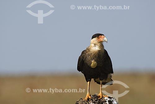 Assunto: Carcará também conhecido como Caracará (Polyborus plancus) em cima de cupinzeiro no Parque Nacional das Emas  / Local: Goiás (GO) Brasil  / Data: 09/09/2007