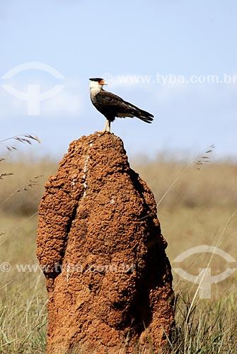 Assunto: Carcará também conhecido como Caracará (Polyborus plancus) em cima de cupinzeiro no Parque Nacional das Emas  / Local: Goiás (GO) Brasil  / Data: 28/07/2006