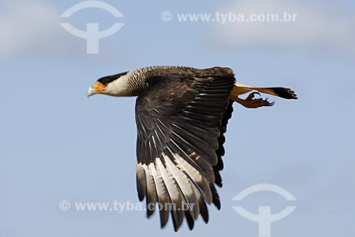 Assunto: Carcará também conhecido como Caracará (Polyborus plancus) voando no Parque Nacional das Emas  / Local: Goiás (GO) Brasil  / Data: 25/07/2006