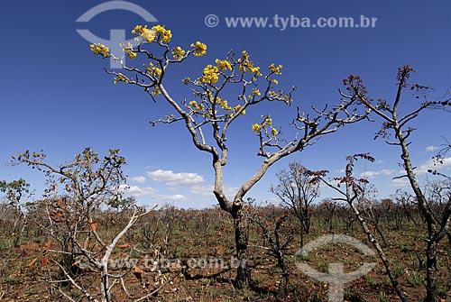 Assunto: Vegetação formada por arbustos no cerrado brasileiro denominado campo sujo / Local: Parque Nacional das Emas - Goiás (GO) - Brasil  / Data: 29/07/2006