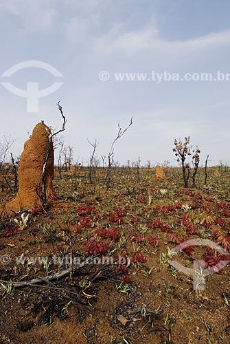 Assunto: Cerrado queimado em recuperação no Parque Nacional das Emas  / Local: Goiás (GO) - Brasil  / Data: 07/09/2007