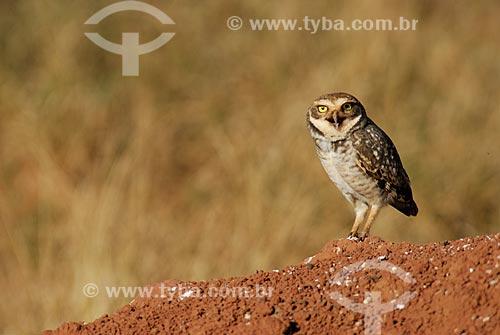 Assunto: Coruja Buraqueira (Speotyto cunicularia)  / Local: Chapadão do Céu - Goiás (GO) - Brasil  / Data: 27/07/2006