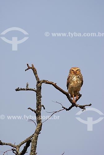 Assunto: Coruja Buraqueira (Speotyto cunicularia) no Parque Nacional das Emas  / Local: Goiás (GO) - Brasil - Brazil  / Data: 09/09/2007
