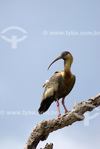 Assunto: Curicaca (Theristicus caudatus) no Parque Nacional das Emas  / Local: Goiás (GO) - Brasil  / Data: 16/09/2007