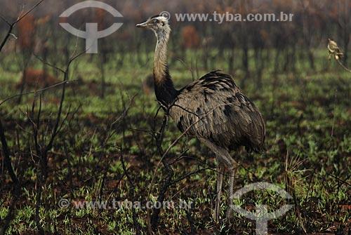Assunto: Ema fêmea (Rhea americana) em área de cerrado queimado no Parque Nacional das Emas  / Local: Goiás (GO) - Brasil  / Data: 07/09/2007