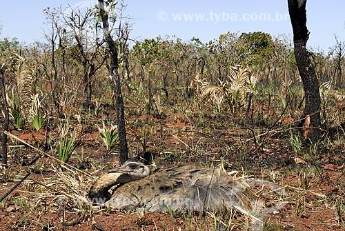 Assunto: Ema fêmea (Rhea americana) pondo ovos em ninho localizado numa área queimada em recuperação no interior do Parque Nacional das Emas  / Local: Goiás (GO) - Brasil  / Data: 07/09/2007