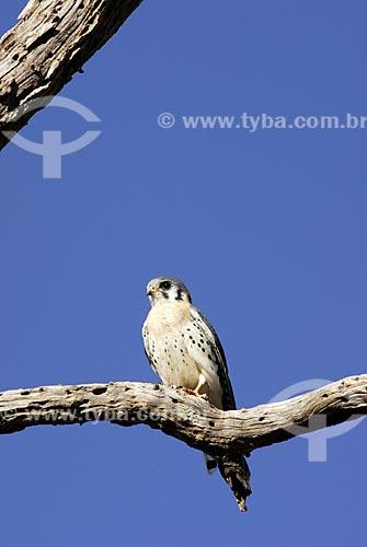 Assunto: Falcão americano quiriquiri (Falco sparverius)  / Local: Mato Grosso do Sul (MS) - Brasil  / Data: 15/08/2006