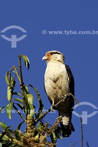 Assunto: Gavião Carrapateiro também conhecido como Gavião Pinhé (Milvago chimachima) no Parque Nacional das Emas  / Local: Goiás (GO) - Brasil  / Data: 29/10/2005