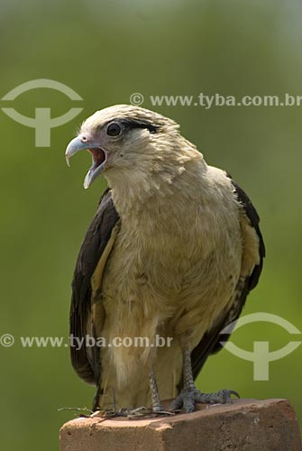 Assunto: Gavião Carrapateiro também conhecido como Gavião Pinhé (Milvago chimachima) no Parque Nacional das Emas  / Local: Goiás (GO) - Brasil  / Data: 17/09/2007