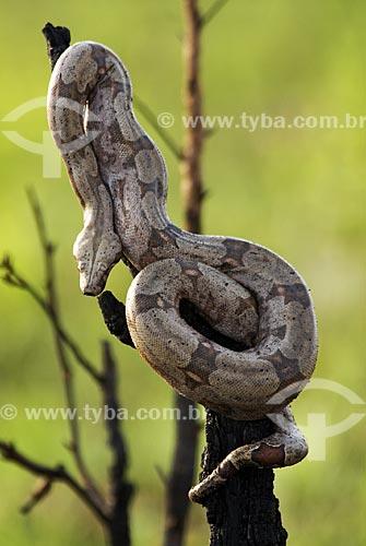 Assunto: Jibóia constritora (Boa constrictor) no Parque Nacional das Emas  / Local: Goiás (GO) - Brasil  / Data: 17/09/2007