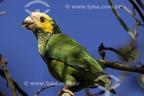 Assunto: Papagaio galego (Amazona xanthops) no Parque Nacional das Emas  / Local: Goiás (GO) - Brasil  / Data: 29/10/2005