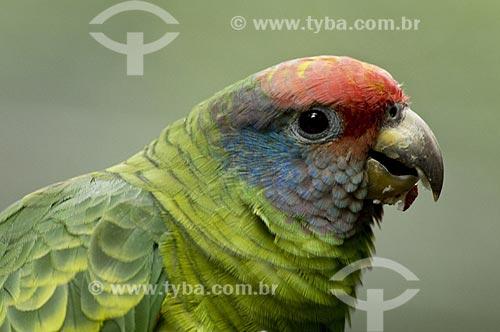 Assunto: Papagaio-de-cara-roxa (Amazona brasiliensis) é originalmente encontrado nos estados brasileiros de São Paulo ao Rio Grande do Sul - grande perigo de extinção  / Local: Brasil  / Data: 10/06/2009