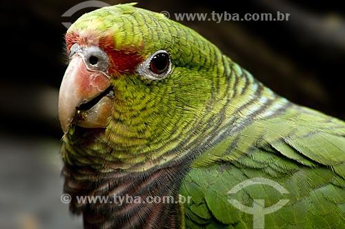Assunto: Papagaio-de-peito-roxo (Amazona vinacea) é uma espécie que ocorre do Sul da Bahia ao Rio Grande do Sul - grande perigo de extinção  / Local: Brasil  / Data: 10/06/2009