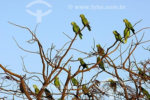 Assunto: Papagaios Verdadeiros (Amazona aestiva) reunidos em árvore no final de tarde no Parque Nacional das Emas  / Local: Goiás (GO) - Brasil  / Data: 10/08/2006