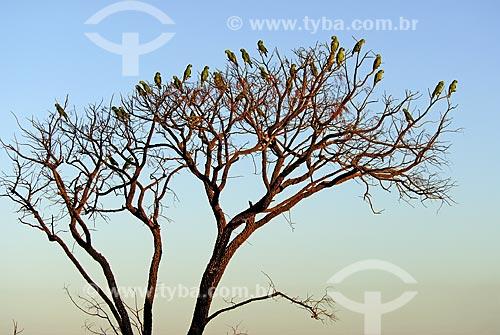 Assunto: Papagaios Verdadeiros (Amazona aestiva) reunidos em árvore no final de tarde no Parque Nacional das Emas  / Local: Goiás (GO) - Brasil  / Data: 09/10/2006