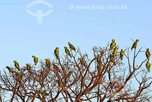 Assunto: Papagaios Verdadeiros (Amazona aestiva) reunidos em árvore no final de tarde no Parque Nacional das Emas  / Local: Goiás (GO) - Brasil  / Data: 10/10/2006