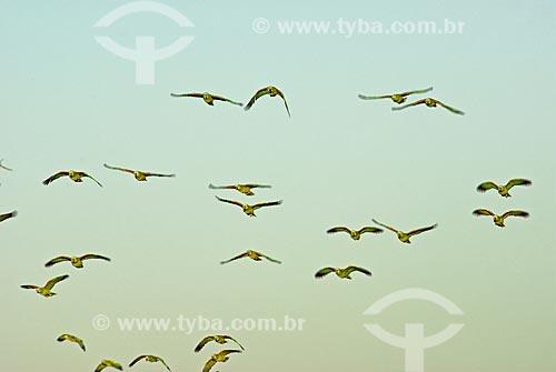 Assunto: Papagaios Verdadeiros (Amazona aestiva) voando juntos no final de tarde no Parque Nacional das Emas  / Local: Goiás (GO) - Brasil  / Data: 11/08/2006