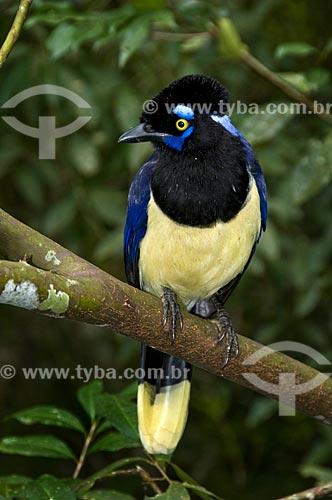 Gralha-picaça (Cyanocorax chrysops) - também conhecida como gralha, gralha-de-crista-negra, gralha-do-mato e uraca - no  Parque Nacional do Iguaçu - o parque foi declarado Patrimônio Natural da Humanidade pela UNESCO   - Foz do Iguaçu - Paraná - Brasil