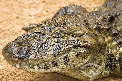 Assunto: Jacaré-de-papo-amarelo (Caiman latirostris) no Parque das Aves  / Local: Foz do Iguaçu - PR - Brasil  / Data: 10/06/2009