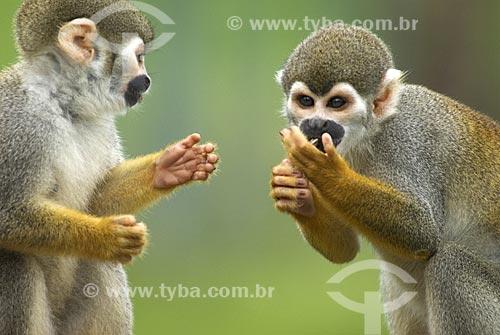 Assunto: Macaco de Cheiro (Saimiri sciureus) na Floresta amazônica  / Local:  Amazonas (AM) - Brasil  / Data: 23/10/2007