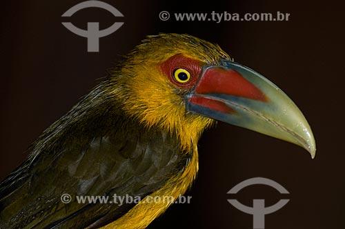 Assunto: Araçari-Banana (Pteroglossus bailloni) no Parque Nacional do Itatiaia  / Local:  Itatiaia - RJ - Brasil  / Data: 15/12/2008