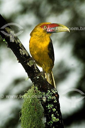 Assunto: Araçari-Banana (Pteroglossus bailloni) no Parque Nacional do Itatiaia  / Local:  Itatiaia - RJ - Brasil  / Data: 26/01/2009