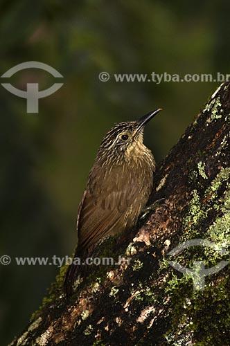 Assunto: Arapaçu Grande ou Arapaçu do Bico Preto (Dendrocolaptes platyrostris) no Parque Nacional do Itatiaia  / Local:  Itatiaia - RJ - Brasil  / Data: 26/01/2009